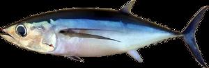 Albacore Tuna (Thunnus alalunga)