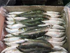 Layers of sardines being packed
